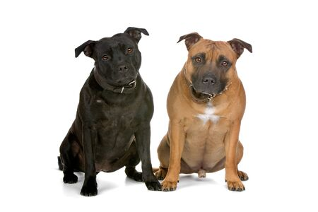 two staffordshire bull terrier dogs sitting and looking at camera Stock Photo