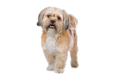 boomer: cute mixed breed (boomer) dog looking at camera
