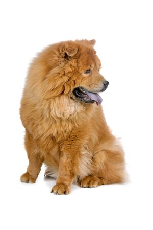 chow: chow chow dog isolated on a white background Stock Photo