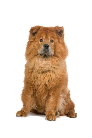 chow: front view of a chow chow dog looking at camera
