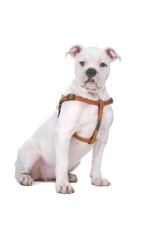 harness: sitting bulldog puppy and looking at camera