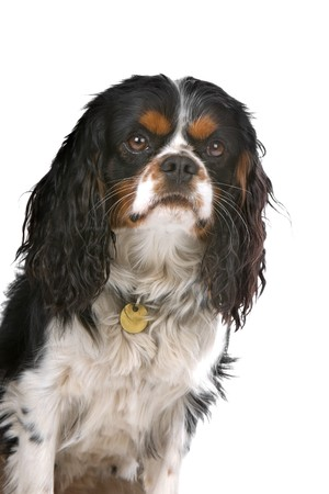 cavalier king charles spaniel dog isolated on a white background photo