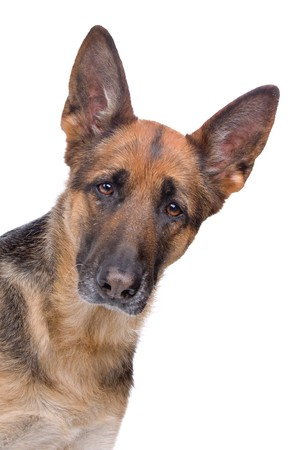 head of a german shepherd dog looking at camera photo