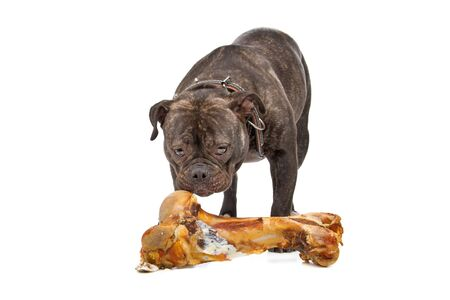 old english: front view of an old english bulldog chewing a bone Stock Photo