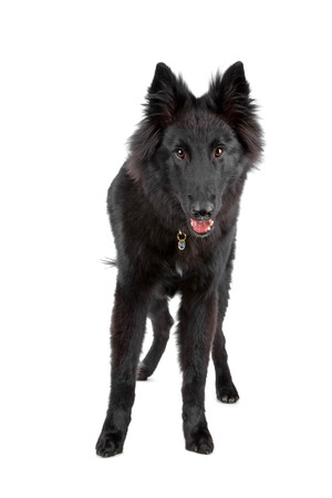 front view of a Belgian Shepherd Dog (Groenendael) isolated on qa white background photo