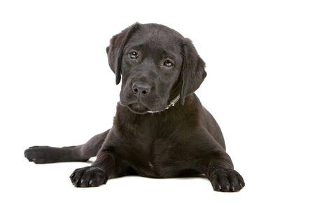 black labrador retriever puppy looking at camera photo