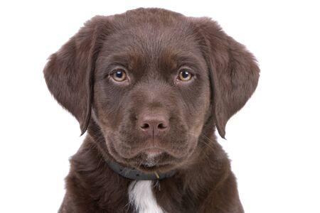 head of chocolate labrador retriever puppy looking at camera photo