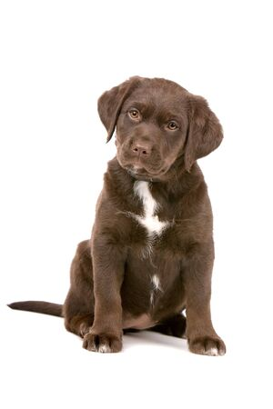 front view of a chocolate labrador retriever puppy looking at camera photo