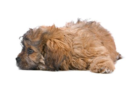 boomer: cute boomer puppy isolated on a white background Stock Photo