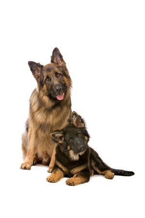 german shepherd dog: german shepherd dog and puppy looking at camera
