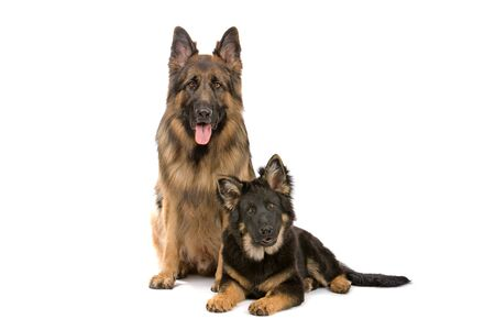 german shepherd dog and puppy looking at camera photo