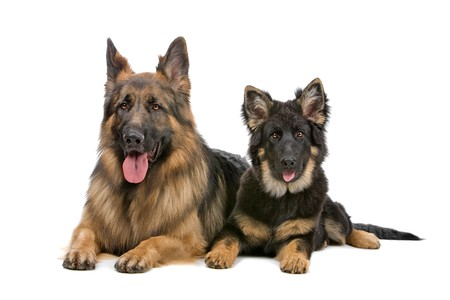 german shepherd dog and puppy looking at camera