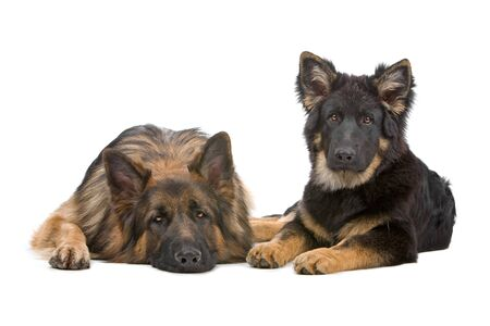 german shepherd dog and puppy looking at camera Stock Photo - 7108342