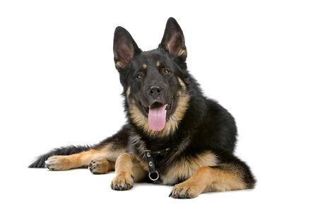 german shepherd dog: german shepherd dog resting and sticking out tongue