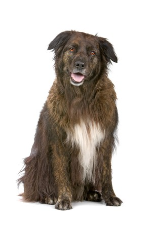 mixed breed dog, half shepherd, half border collie isolated on white Stock Photo - 7108341