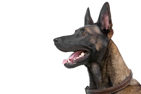 belgian: head of a belgian shepherd dog Malinois Stock Photo