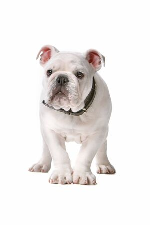 front view of a french bulldog puppy isolated on a white background