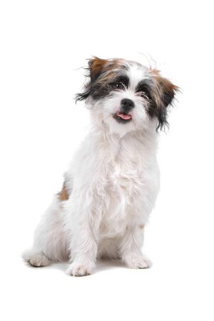 boomer: mixed breed boomer dog isolated on a white background Stock Photo