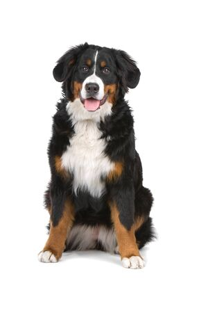 sticking out the tongue: perro de monta�a bern�s fuera la lengua  Foto de archivo