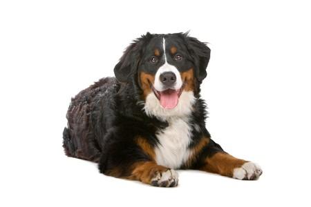 perro de montaña bernés alegre fuera la lengua  Foto de archivo