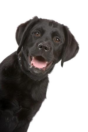 retriever: head of a black labrador retriever puppy Stock Photo
