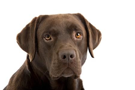 perro labrador: cabeza de perro de chocolate labrador retriever aislado en un fondo blanco  Foto de archivo