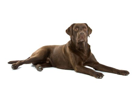 chocolate labrador retriever dog isolated on a white background