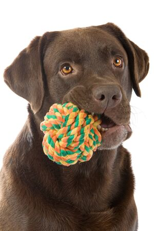 head of chocolate labrador retriever dog with a ball in mouth