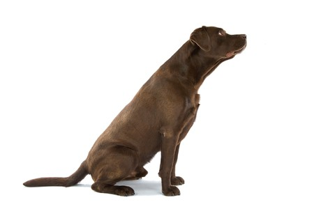 profile of a chocolate labrador retriever dog sitting
