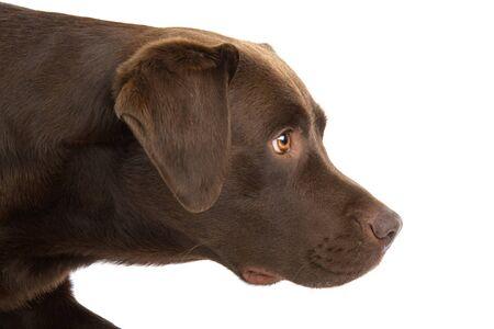 labrador retriever: cabeza de perro de chocolate labrador retriever. perfil.  Foto de archivo