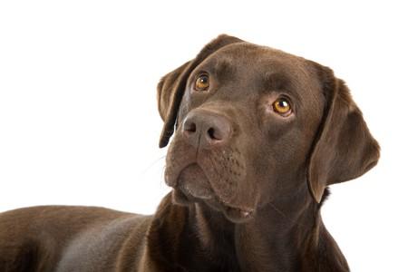 labrador retriever: chocolate labrador retriever perro aislado en un fondo blanco