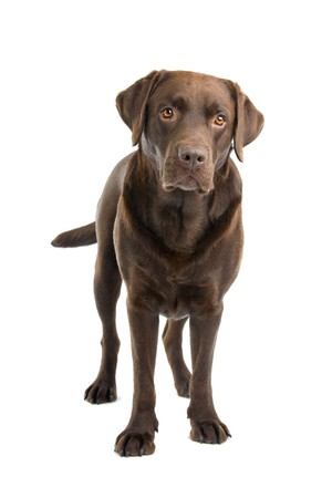 front view of chocolate labrador retriever dog looking at camera photo