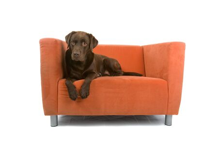 chocolate labrador retriever dog lying on a couch and looking at camera