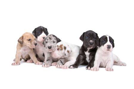arlecchino: gruppo di cuccioli great dane isolato su uno sfondo bianco