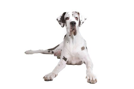 great dane dog (harlequin) isolated on a white background photo