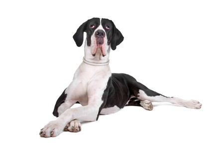 great dane dog lying on the floor with the paws crossed photo