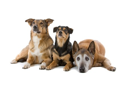three animals: group of three mixed breed dogs lying on the floor