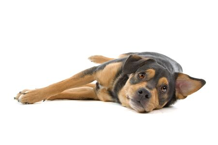 breeds: mixed breed dog lying on the floor, isolated on a white background