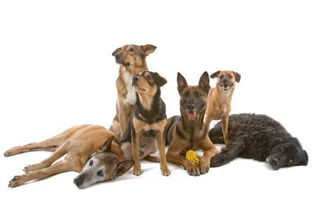 mutt: group of six mixed breed dog isolated on a white background Stock Photo