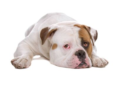 american bulldog puppy isolated on a white background