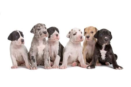 harlekijn: groep van zes great dane pups geïsoleerd op een witte achtergrond