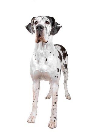 front view of a great dane dog looking at camera photo