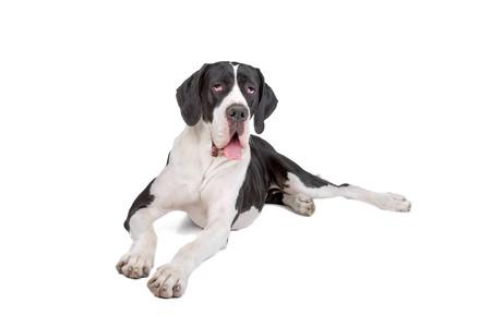 great dane dog isolated on a white background photo