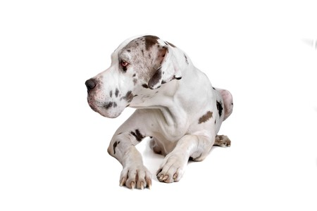 great dane harlequin: great dane dog (harlequin) isolated on a white background Stock Photo