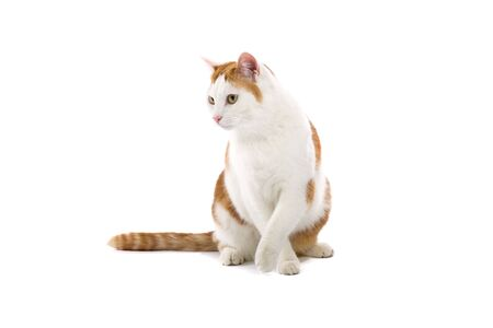 europeans: european shorthair cat isolated on a white background