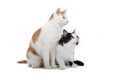 two european shorthair cats sitting, isolated on a white background photo