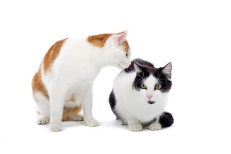 two cute european shorthair cats isolated on a white background Stock Photo - 7237806