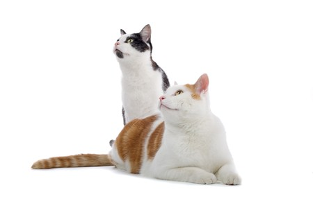 shorthair: two european shorthair cats looking up Stock Photo