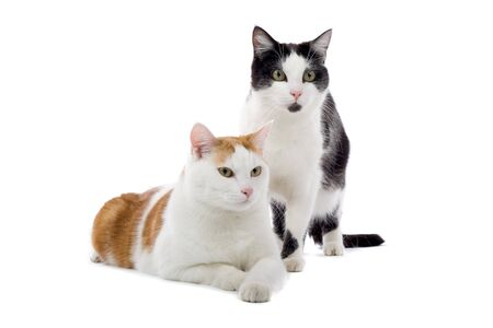 black and white and red and white european shorthair cats isolated on a white background Stock Photo - 7237818