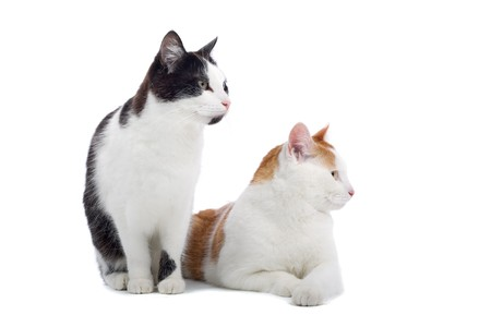 shorthair: front view of two cute european shorthair cats Stock Photo